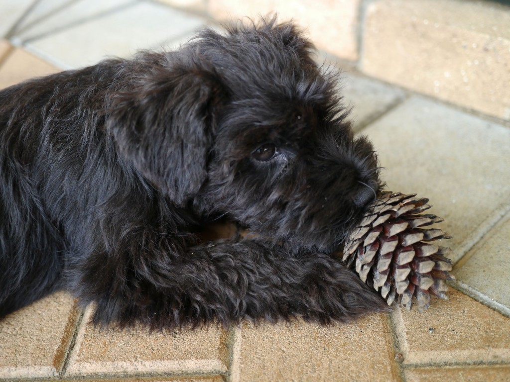 shadow-pinecone